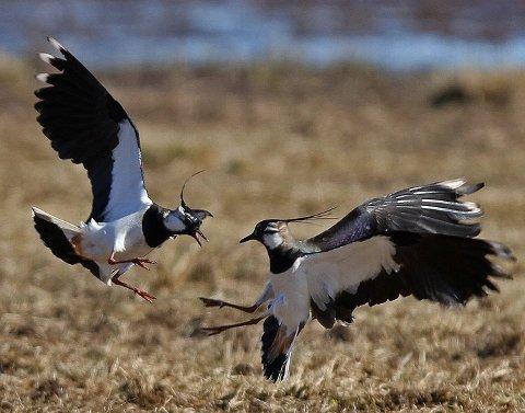 : Vipene var et sikkert vårtegn på Romerike. Nå er dette en av de fugleartene som har minsket mest i antall blant fuglene våre. Årsaken er sammensatt, men et mer effektivt landbruk kan være en av grunnene til den sterke nedgangen i bestanden. Foto: Hallgeir B. Skjelstad