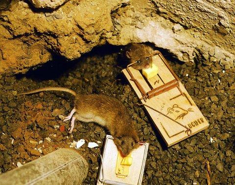 Oslo 20021103. Musefeller. To døde rotter i feller med ost. Rottefelle, rotteplage. Foto: Berit Keilen / NTB