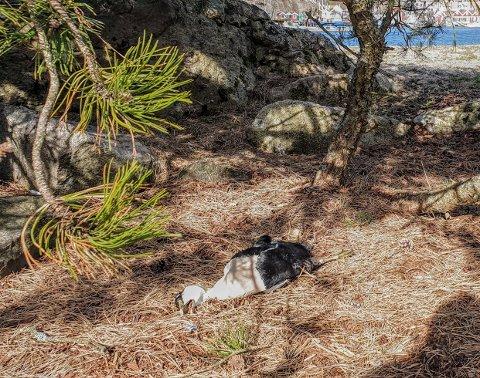 Dør av sult: Dette er en av ærfuglene som naturoppsyn Haakon Haaverstad fant tirsdag 31. mars. (Foto: Privat)