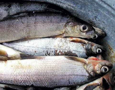 Sik var en gang en viktig ressurs for mange på Romerike, men i dag er det knapt noen som bruker denne laksefisken. Årsaken er blant annet at store mengder med sik er angrepet av ufarlige, men uappetittlige parasitter. Foto: Rune Fjellvang