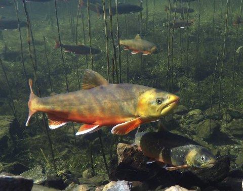 : Røya er en av fiskeartene som skifter over til en fargerik gytedrakt. I serien «Magiske Glomma» møter vi blant annet røya på gyteplassene. I andre episode er det Nordre Øyeren som settes i fokus. Serien går over fem episoder. Foto: NRK