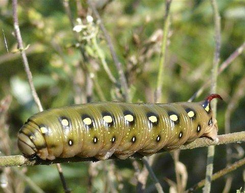 : Det meste som ser skummelt ut i naturen er det ikke i virkeligheten. Hornet på bakenden på denne mauresvermerlarven er ingen giftig pigg. Den er ikke engang stiv. Men den som er sårbar må utvikle metoder til å skremme vekk dem som vil spise den. Foto: Darius Baužys