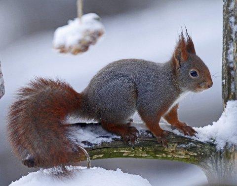 Selv det norske røde ekornet blir nokså grått om vinteren. Ekorn har vært jaktet på på grunn av denne vinterpelsen som kalles gråverk. I middelalderen var gråverkskapper svært ettertraktet. Foto: Hallgeir B. Skjelstad