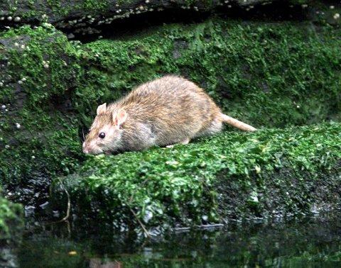 Rotter vekker avsky hos noen, mens andre synes de er praktfulle kjæledyr. Nå går vi inn i Rottas år, samtidig som vi pøser på god rottebak gjennom kloakken.