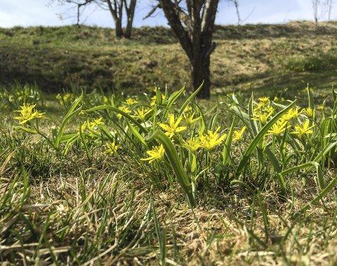 : Gullstjerna ser ut til å blomstre mer tallrikt enn på lenge denne våren. Disse vokser på en plen på Frogner i Sørum. Foto: Rune Fjellvang