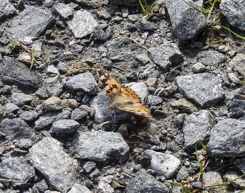 : Jeg har sett dem langt fargesterkere, men aldri tidlig i juni. Denne tistelsommerfuglen foretok en mellomlanding sist helg ved Bustevollen nord i Skrukkelia i Hurdal. Den har en eventyrlig reise bak seg. Foto: Rune Fjellvang
