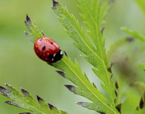 Ei sjuprikka marihøne på jakt etter yndlingsretten, små grønne bladlus. Prikkene på ryggen indikerer ikke alderen, slik barna tror. Foto: Tom Gustavsen