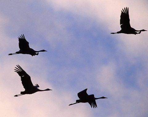 Det er tranetid på Romerike og mange fugler bruker Nordre Øyeren og jordene i Aurskog-Høland for å raste før de forsvinner inn i de dype og myrrike skogene. Der blir de borte for de fleste av oss fram til høsten kommer og de trekker på nytt. Foto: Hallgeir B. Skjelstad