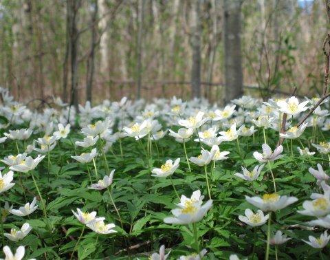 Hvitveis i tett flor i Romerike landskapsvernområde en aprildag for noen år siden. Snart vil den igjen fylle marken før løvet på trærne legger sitt mørke lokk over skogbunnen. Foto: Rune Fjellvang