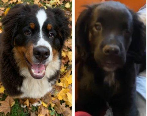 BLE SYKE: Norvald (til venstre) og Luna, som var henholdsvis sju og fem måneder i november 2020, forteller at valpene fikk i seg rottegift og ble veldig syke.