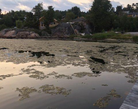SJØGRESS: Den siste tiden har det nærmest ligget et gulv av sjøgress over vannflaten i området rundt Vispen badeplass.