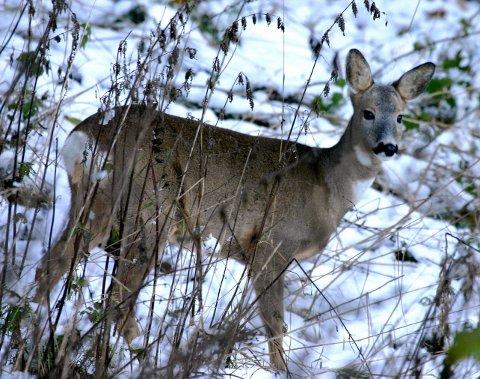 Rådyret er en kjent gjest for folk som bor nær skogen. Her er det mat å finne og vinterstid søker dyrene dit den er lettest å finne. Rådyrbestanden er i dag omtrent det halve av det den var tidlig på 1990-tallet. Det er bare et sunnhetstegn. Foto: Hallgeir B. Skjelstad