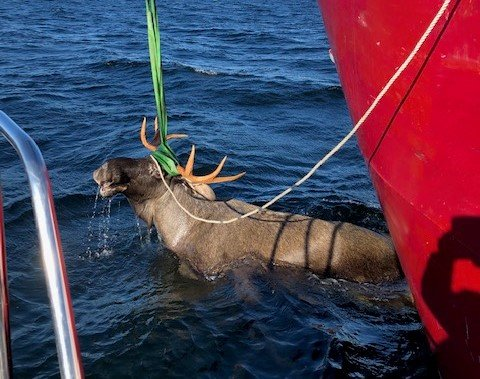 DUKKET PLUTSELIG OPP: Denne store elgoksen fikk far og sønn øyne på under onsdagens hummerfiske. Foto: Torstein Dahl