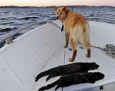 Jakt på mink: Spesialtrente hunder gjør en viktig jobb i jakten på å bli kvitt minken langs kysten. Foto: Jon Erling Skåtan / SNO