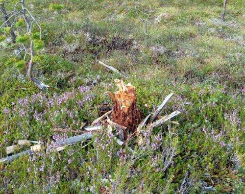 STOR STUBBE: Trond Blomlie reagerer på at stubbene som står igjen er både stygge og store.