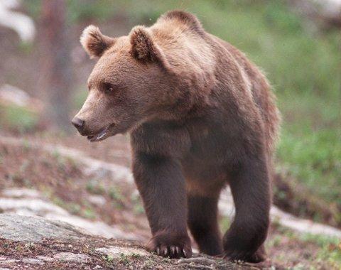 BJØRNEJAKT: Lisensfellingsperioden for bjørn varer fra 21. august til 15. oktober. Arkivfoto Per Løchen / SCANPIX