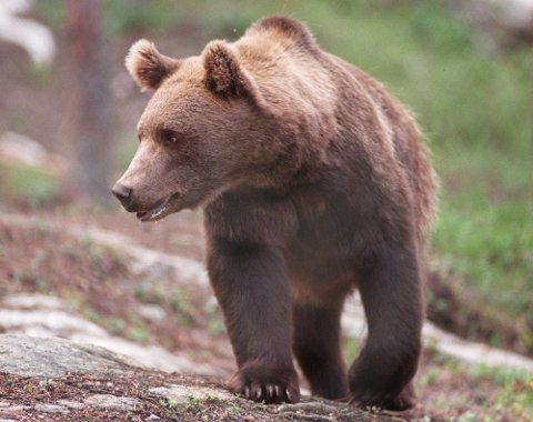 Ingen tegn: Bjørnen som herjet ved Bleka sørvest for Ljøsheim fredag og lørdag har trolig dratt videre. Arkivfoto Per Løchen / SCANPIX