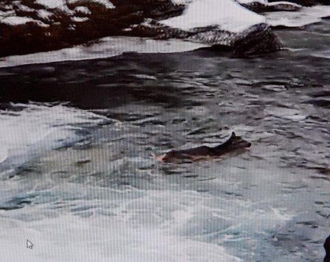 FALT I ELVA: Her kjemper hjorten mot det sterke og iskalde fossestryket på Lesjaskog.