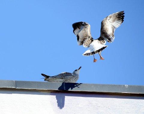 MÅKER: Fuglene foretrekker flate tak i sentrum i hekkeperioden.