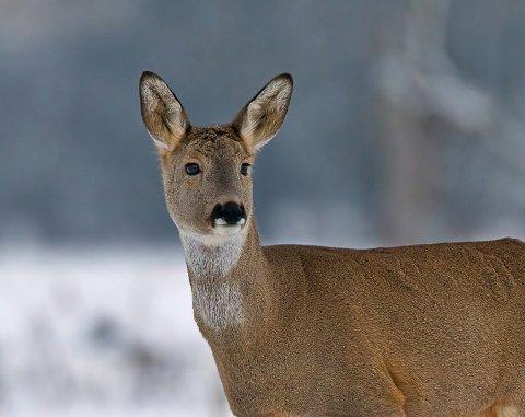 Voksne rådyr hunndyr kalles rå, geit eller rågeit. De gjør seg klare til å få en ny kalv og jager bort fjorårets avkom.