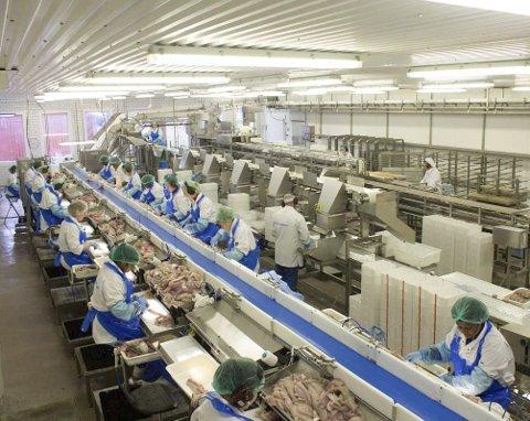 FULL PRODUKSJON: Ferskfiskordningen gjør at de 85 ansatte på Båtsfjordbruket har arbeid nok i disse dager. Her fra filetproduksjonen.