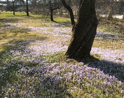 FARGER: Et teppe av blomster på Nedre Gausen.