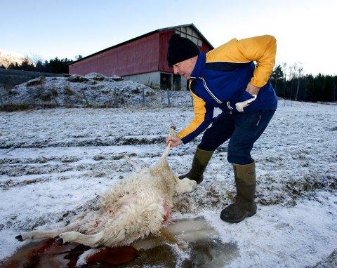 Magne Elvestad ved ett av lammene som ble drept under hundeangrepet søndag kveld.