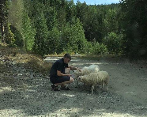 BYTTER BEITE: Sauebonde Tore Iversen Hagenborg i Søndre Land håper at å flytte sauene fra beitet ovenfor Fall vil gi både dem og resten av bygda litt fred fra dyr på avveie. Her er han på tilsynsrunde for å holde kontroll på hvor dyrene befinner seg.
