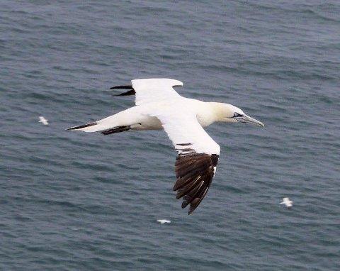 Havsula har vært den havfuglen som har klart seg best de seinere årene. Men nå kommer det illevarslende meldinger om at kysten fylles av radmager makrell på størrelse med kulepenner. Bildet er tatt ved Bempton Cliffs i Yorkshire. Foto: Rune Fjellvang