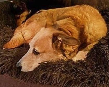 SAVNET ETTER TOGPÅKJØRSEL: Caroline er en 10 år gammel Dachs/Buhund. Hun har korte bein og lang kropp og bærer et halsbånd med telefonnummer 93001880.