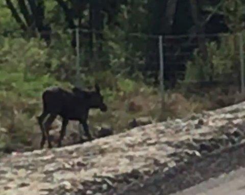 Her løper den unge elgen langs E18. Den har nå blitt avlivet.
