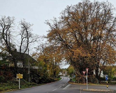 DØDT TRE: Bøketreet ved innkjøringen til Lindhøy må fjernes på grunn av råte.