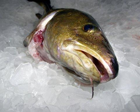 Aldri før har tollerne tatt flere fiskesmuglere.