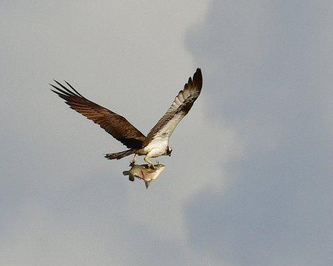 FLOTT MOTIV: Fiskeørna henger over Nitelva med fisken trygt fanget i klørne.