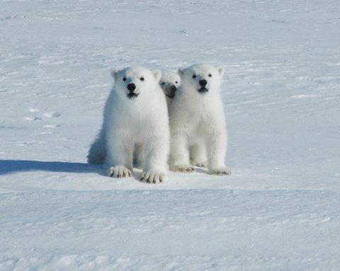 FØDES FÆRRE UNGER Sen ankomst av sjøis rundt tradisjonelt viktige hiområder som Kongsøya og Hopen på Svalbard har i senere år ført til at få binner har nådd øyene for å gå i hi. I mildere år fødes det færre unger i disse områdene enn i kaldere år.