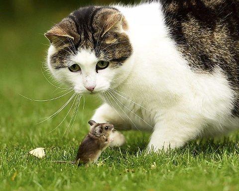 Blinkskudd: Ikke la deg lure av kattens vennlige ansiktsuttrykk. Forholdet mellom de to er langt fra vennskapelig. Foto: Lars Albert Albretsen