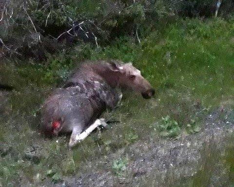 SKADD ELG: Haldis Grøtli ble sint da hun fant en medtatt elg i grøfta, påkjørt på riksveg 3.