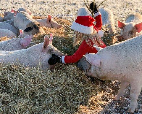 HAPPY PIGS: De glade og tillitsfulle grisene på Nedre Skinnes Gård fikk tidlig i desember et hyggelig besøk av Liv Svalastog Skinnes, utkledd som selveste julenissen.