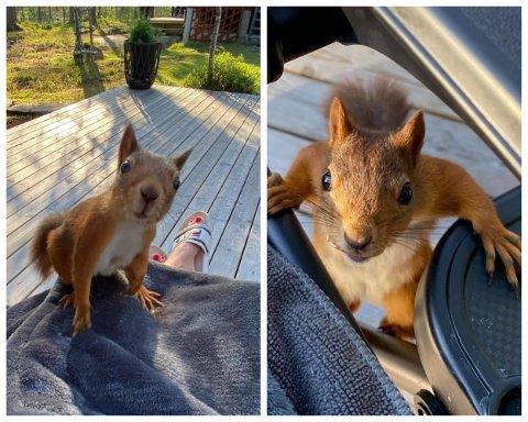 BESØK AV EKORN: Gunn Johansen har fått besøk av ekorn på hytta i Finnemarka. Den ene tar gjerne en tur oppå fanget hennes.