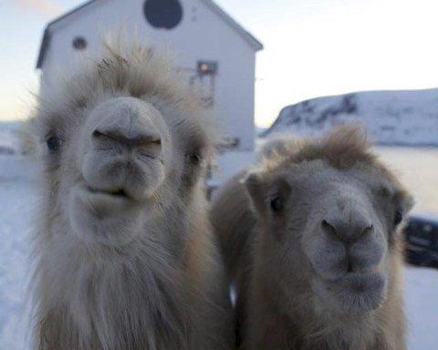 BRUNST: Det var kamelen Bor (t.v.) som bet naboen i Akkarfjord i låret. Her med Bestla utenfor huset til familien Sætereng i Akkarfjord.