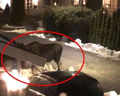 TETT PÅ: Her er den ene elgen avbildet fra vinduet til Alexander Franke for noen uker siden. Han bor på på Sørholtet ikke langt fra Jessheim sentrum.