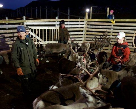 Reineier Reidulf Aleksandersen og datteren Sara Katrine. Søndag kveld ble om lag 350 dyr sendt gjennom gjerdet. Her ble de tellet samtidig som årets kalver ble merket. Foto: Ola Solvang