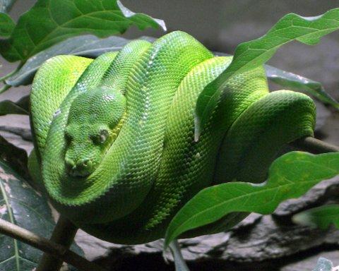 Grønn trepyton lever på Ny-Guinea og lengst nordøst i Australia. Den blir fra 1,8 til 2,4 meter lang. Trepyton lever i trærne.