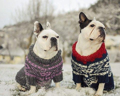 VARM på brystet: To franske bulldoger, i hver sin fargevariant av Marius-genseren, tar vinterkulden med stor ro. FOTO: Privat
