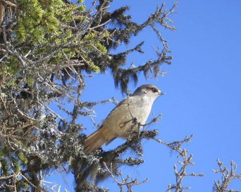 Lavskrike: Den uvanleg nysgjerrige fuglen sette seg stadig på kvistar like over hovuda våre.