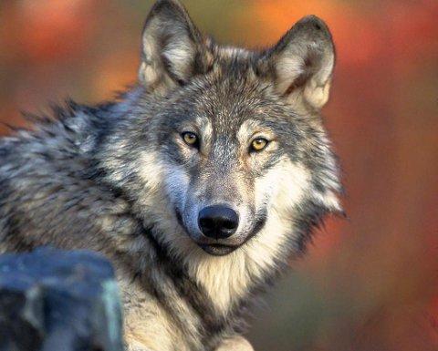 I OMRÅDET: Ein ulv streifar etter alt å døme omkring i ytre Sogn, nord for Sognefjorden.