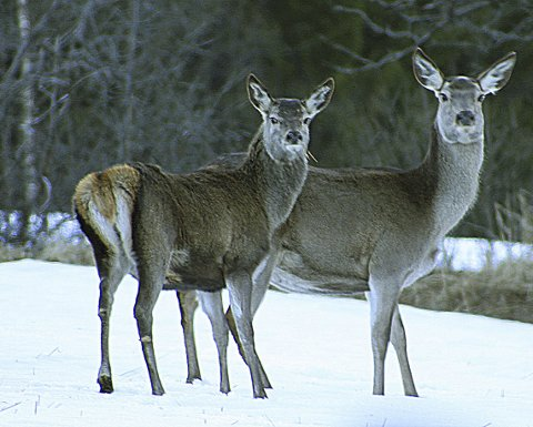 Stor viltfare: Det har vore fleire ettersøk etter påkøyrt hjort i Ottadalen hittil i vinter. Nå meiner Solstad at noko må gjerast.