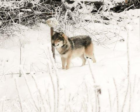 ULV: Denne ulven ble observert ved Høie i Eidsberg rundt 12.30 søndag 18. januar.