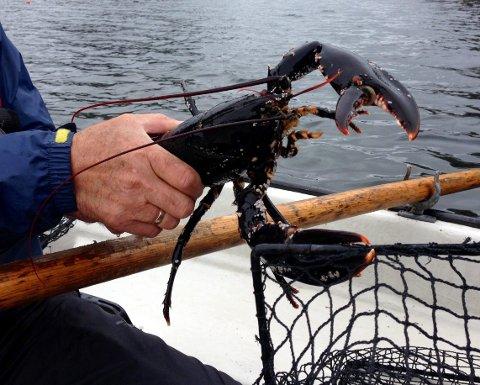 Havets kardinal - hummaren - er høgt akta i Noreg. 1. oktober startar fisket i Noreg.