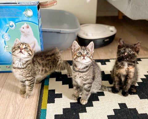 BOOM: Tiger, Trixi og Nikita trenger alle et hjem. Kattehjelpen er bekymret for at behovet for omplassering øker når samfunnet kommer tilbake til normalen etter korona.